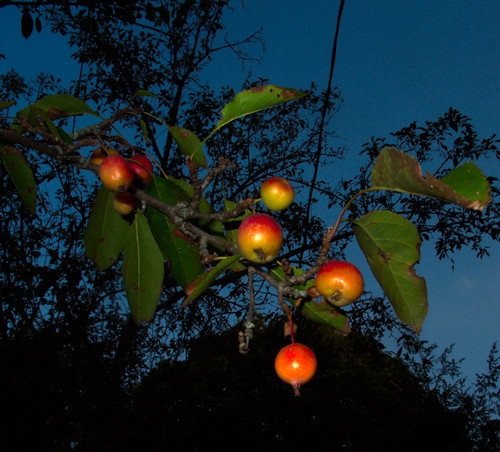 Crabapples in an August Dawn