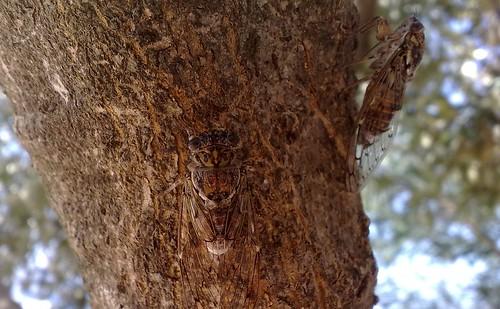 Kefalonian Cicada