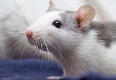 Elise (Arathrael) Tags: pet girl animal female rodent rat elise digitalcameraclub