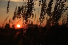 Sunset (Yacenty) Tags: sunset sun grass meadow poland polska słońce zachód lubin trawa zachódsłońca łąka