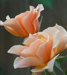 Rose on Rose (BLPhotography.) Tags: flowers roses fff platinumphoto goldstaraward awesomeblossoms grouptripod sublimemasterpiece