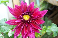 Dalia (flor de Mama)