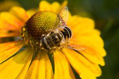 Hoverfly on helenium flower *     (v.plessky) Tags: flowers summer flower macro nature yellow raw minolta russia vivid sigma bee dynax7d jp