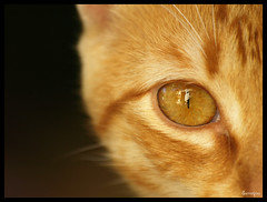 Tarifa (Sternschnuppes Welt) Tags: pet animal cat katze makro haustier tier kittie redcat cateye katzenauge bestofcats rotekatze flickrlovers surrealpixx