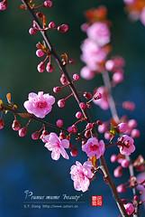 2008_04040056 (chinaphila) Tags: flower flora prunus cerasus rosaceae