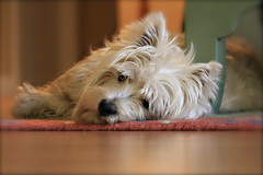 Early to Rise, Early to Bed (Randy Son Of Robert) Tags: dog pet white westie canine terrier lazy westhighlandwhiteterrier resting yoshi