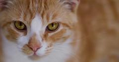 Twilight (Domain Barnyard) Tags: orange pet animal cat golden amber twilight eyes furry kitten kat feline bokeh young kitty whiskers domestic stare shorthair meow f12 tingey domainbarnyard canoneos40d