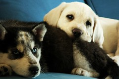 Tango and Cash (carE.) Tags: dog white cute puppy husky labrador siberian
