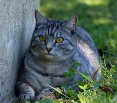 Miss Moo (Kerri Afford) Tags: pet pets animal feline sleep snooze catcats catmoments thechallengefactory
