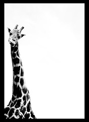 fall in L.O.V.E see giraffe (bachullus  ) Tags: bw animal olympus explore giraffe lr giraffa e510 zyrafa blackwhiteaward platinumheartawards internationalflickrawards bachullus