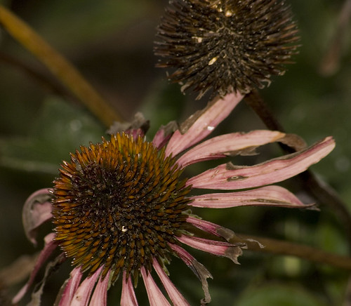 coneflower to seed