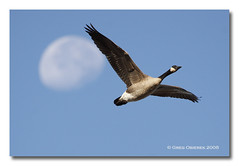Flying with the Moon (greg obierek) Tags: sky moon nature birds canon flying geese wildlife goose wetlands l delaware waterfowl canadagoose brantacanadensis eos30d ef100400mm avianexcellence sacredmoon woodlandbeachwildlifearea
