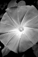 B&W-Morning-Glory-#7 (rob_valine) Tags: flowers blackandwhite nature morningglory ilfordpanfplus yashicafx3super2000 nikoncoolscanved blackwhitephotos eliteimages rubyphotographer xtremeboquet vivitarseries12890mmf2835lens tiffenyellow8filter