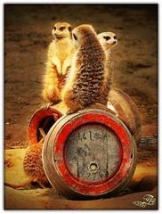 Meerkat (Patrick Tannenberg) Tags: nature beer animal animals fauna canon eos zoo tiere meerkat barrel cologne kln bier koeln tier erdmnnchen ptp fass erdmaennchen tierwelt 40d colognia tannenberg j0k3r71