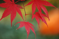 I don't know-do you think Red and Orange go together? (makeupanid) Tags: toronto green fall leaves pumpkin leaf maple searchthebest bokeh explore japanesemaple interestingness402 regalroad cmwdorange bokehwednesdayeve