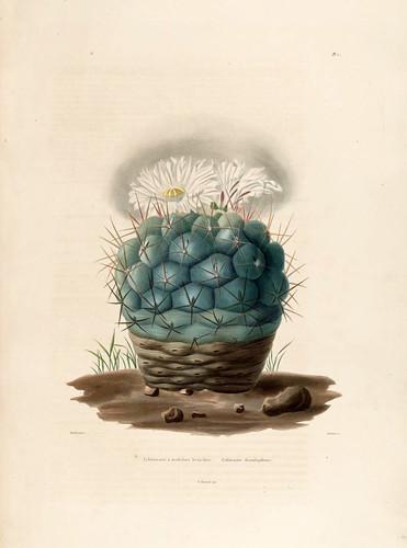 02-Echinocactus hexaedrophorus