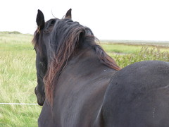 Friese (Cogolibr) Tags: horse friese