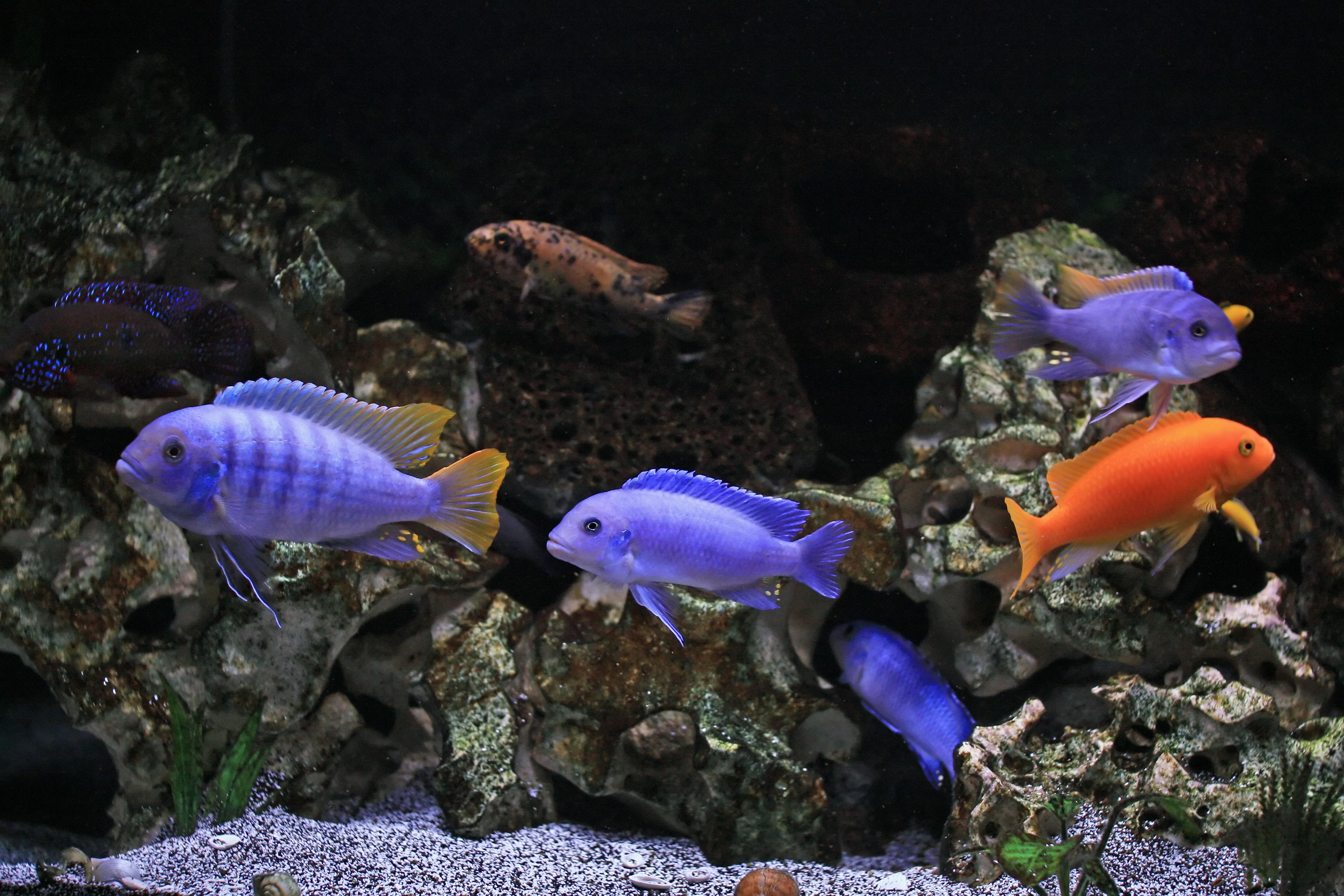 African Cichlid Tank // fish cichlid malawi tank mbuna fishtank ...