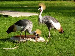 Grey Crested Cranes (ROBERTFROST1960) Tags: fuerteventura jandia greycrestedcrane