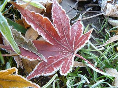 frosty morning (enricator (too busy to flickr...)) Tags: autumn ice leaves foglie leaf frost seasons brina panasonic foglia autunno ghiaccio fz8