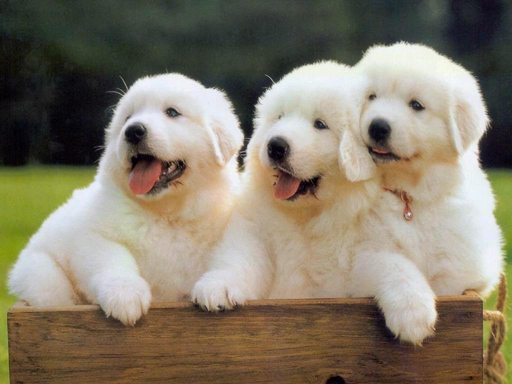 Cute Puppy Free HD Wallpaper