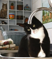 Il Signore dei Rubinetti (marta) Tags: blackandwhite cats kitchen chats gatos taps tuxedo katze gatti vinicio thelord catnipaddicts ilrubinettosenbranovo nonhomaipulitolacucinacomedaquandofacciofoto