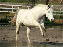 He Made It! (xxmemorabilia) Tags: blue horse white black turn out fun puddle grey mess paint mud gray nelson dirty dirt messy fred splash freddy muddy canter roan frederick gallop painthorse turnout blueroan overo fredericknelson blueroanovero