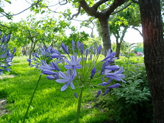 P6290016 (guido.masnata) Tags: mare fiori piante calabria tropea paraelios