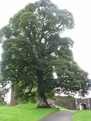 Tree at Entry of Castle Campbell (Monica McCarty) Tags: scotland campbells castlecampbell highlandoutlaw