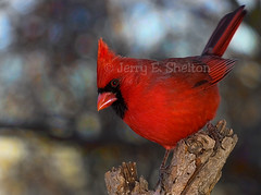 Cardinal with Bokeh (Uncle Phooey) Tags: red cardinal bokeh explore missouri ozarks cardinaliscardinalis redbird naturelovers northerncardinal backyardbirds specnature canonef70200mmf4lusm goldstaraward 100commentgroup unclephooey ozarkswildlife