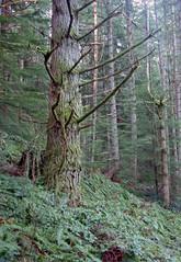Branchy doug fir