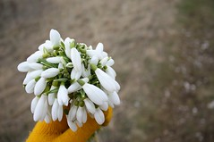 the end of winter (.nevara) Tags: brown white flower color colour macro green me nature grass yellow forest j spring day dof hand bokeh walk snowdrops myhand posy bunchofflowers hbw sweetsmell colorphotoaward afterwinter