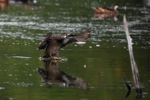 landingduck