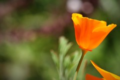 optimism (catklein) Tags: california orange green happy bokeh poppy optimism bokey hbw dustyinspiredthis
