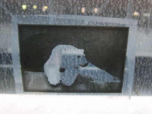 Polar bear transparency