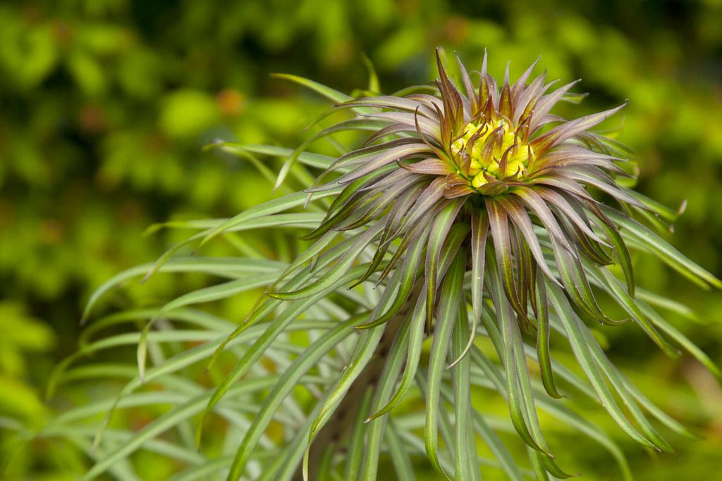hydra-like lily