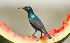 The Purple Sunbird (Cinnyris asiaticus) is a small sunbird. Like other sunbirds they feed mainly on nectar, although they will also take insects, especially when feeding young. (TARIQ HAMEED SULEMANI) Tags: pakistan nature birds purple tariq sunbird sulemani canon7d jahanian thewonderfulworldofbirds