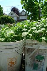 Growing potatoes in buckets (Ruth and Dave) Tags: plant vancouver bucket potato kitsilano growing allotment vetegables maplecommunitygarden