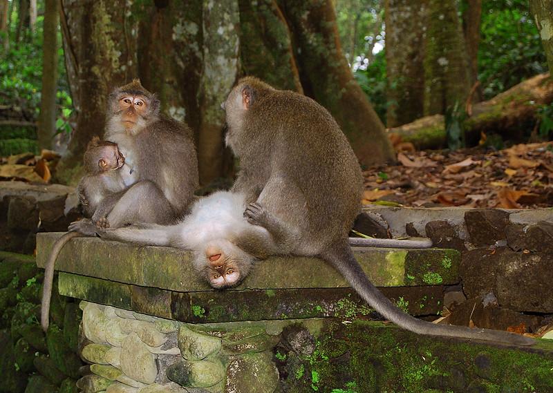 _Bali_monkeys_1_