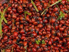 Millions (J-Fish) Tags: red macro nature insect beetle million ladybird ladybug mass coleptera z612 kodakz612 diamondclassphotographer flickrdiamond hawaalrayyanfav herowinner shchofwinner