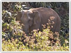 I saw you ! (Intrudr) Tags: nikon kerala elephants herd d40 mohanraj mywinners nikond40 malayalikkoottam kfm3 malayalikkottamkfm3 expeditiontodewilds mohanrajk mohanrajnet