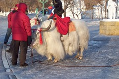 Yak (Yi.Lin) Tags: china yak snow tibetan harbin anawesomeshot