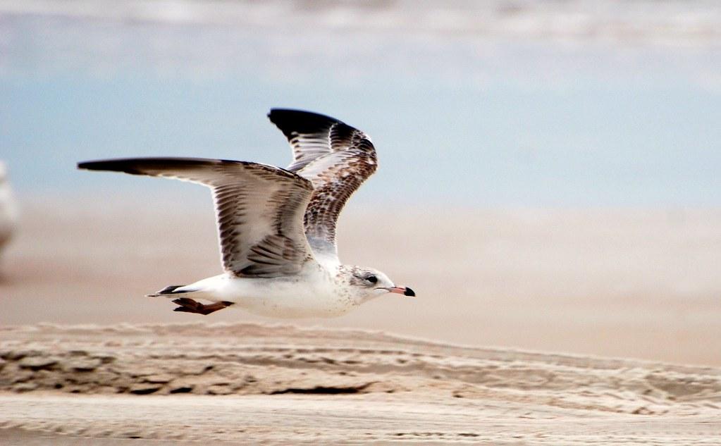 Bird - Flying Herring Gull - Seagull at the Beach
