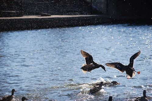 Birds stir up the water, fighting for food in the DuPage River in Naperville, IL