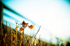 beneath the sky (moaan) Tags: life leica sky flower dead 50mm flora dof bokeh bluesky f10 hydrangea mp noctilux withered 2008 wilt rvp fujivelvia underthesun leicamp explored fujirvp inlife bokehwhores gettyimagesjapanq1 gettyimagesjapanq2