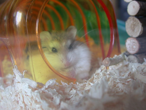 Roborovski Hamster by roborovski hamsters.