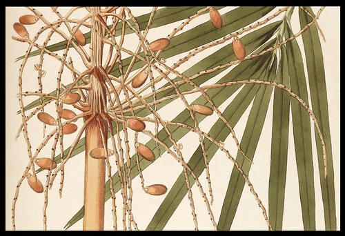 Phœnix reclinata - Senegal Date Palm