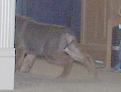 buster (muslovedogs) Tags: dogs buster mastweiler zeusoffspring myladyoffspring
