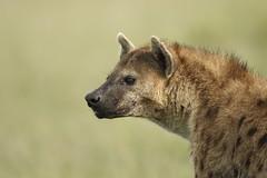 Hyena Portrait (Lyndon Firman) Tags: africa kenya hyena spottedhyena masimara