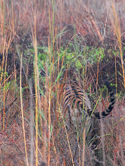 all that's left is the tale.... (JacBach) Tags: park india tiger bandhavgarh tigerreserve bitu allthatsleftisthetale 4081690100m